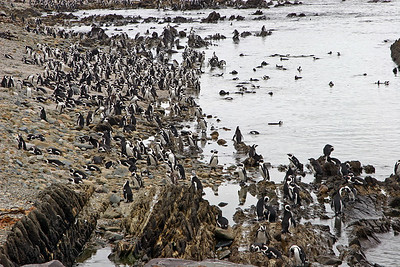 A large colony (40,000) of African penguins on Robben Island