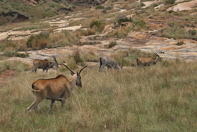 Often depicted in rock art, the eland was viewed as an animal of power, with supernatural potency and great religious significance.