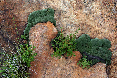 Resurrection plant (moss) on a rock face in Vredefort Dome