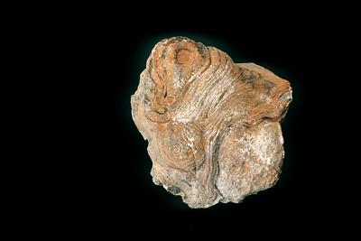 Stromatolite found at Vredefort Dome