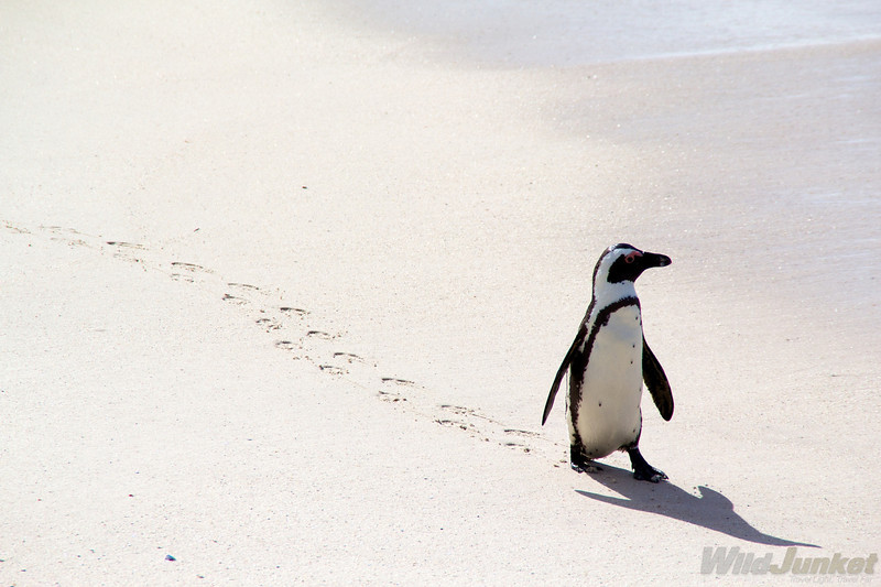 A penguin on Boulders Beach