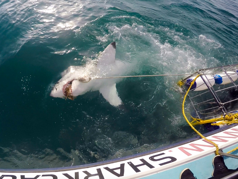 Cage diving with great white sharks in Gansbaai