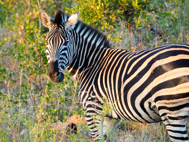 Zebra in Kruger National Park