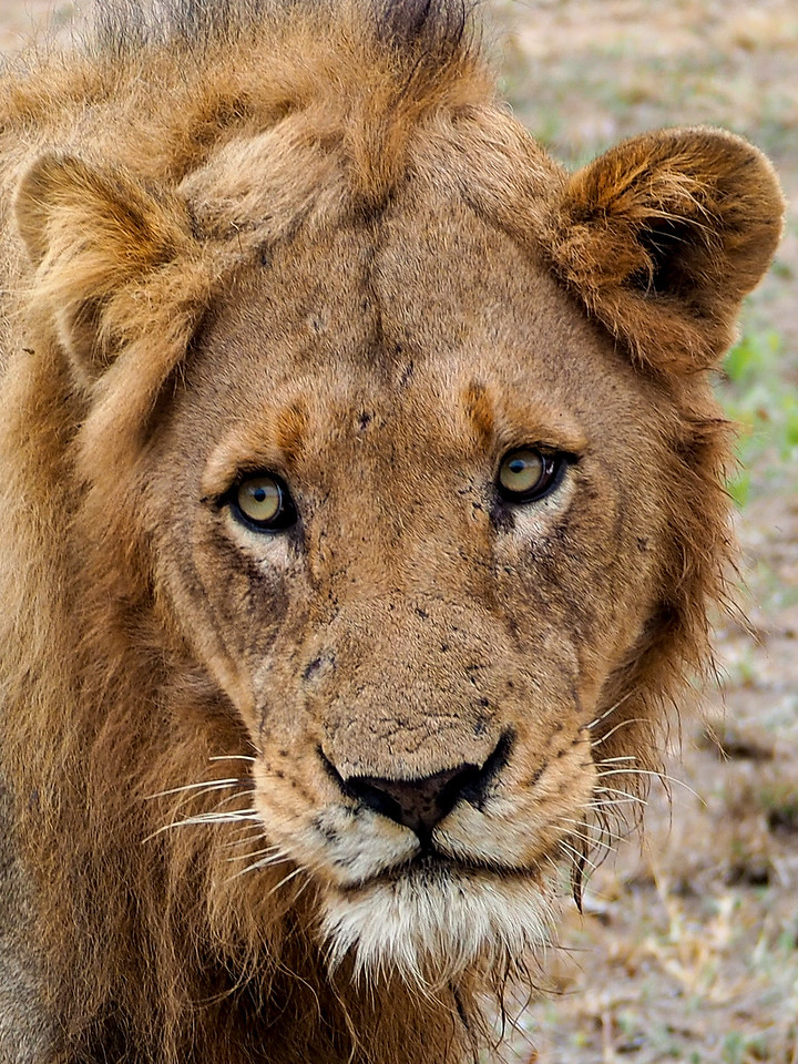 Male lion in Kruger National Park