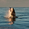 Great White Shark (Carcharodon carcharias), False Bay, Seal Is.