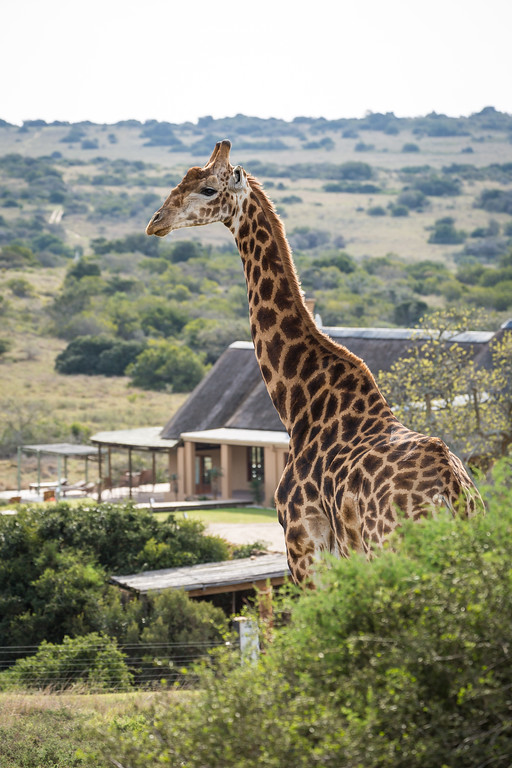 A Giraffe with Hlosi Lodge in the background. Amakhala Game reserve,  Eastern Cape