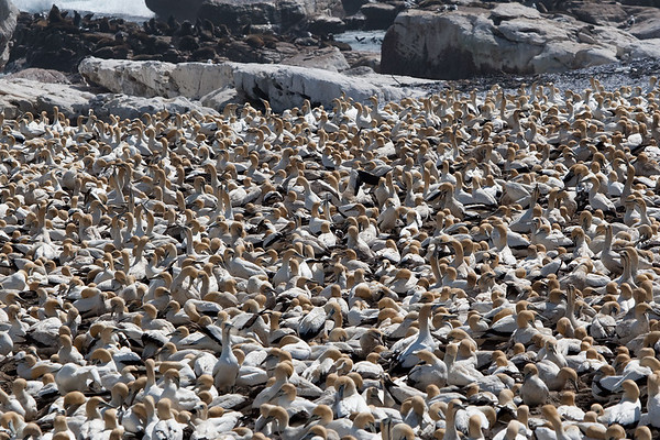 Scenes from the Gannet Colony at Lambert's Bay, South Africa