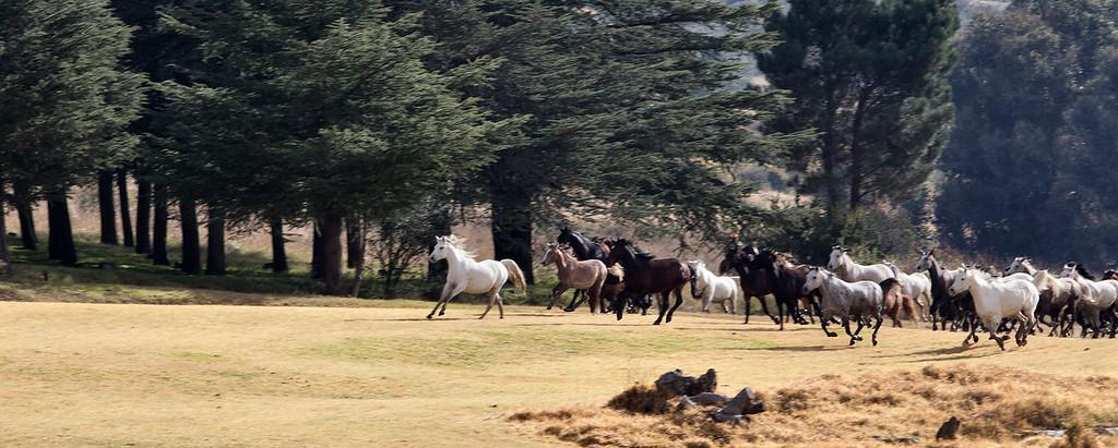 130 South African Endurance Horses race across a mountain meadow near Moolmanshoek, Eastern Free State, South Africa