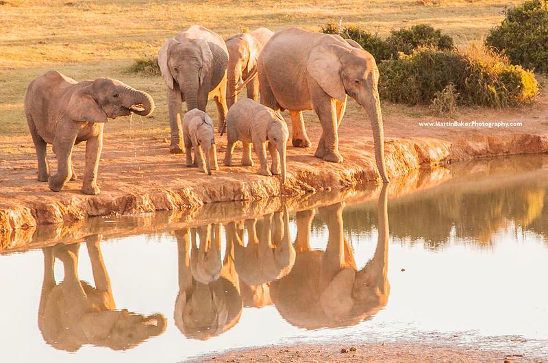 African Elephants, Kruger National Park, Mpumalanga, South Africa.