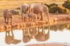 African Elephants, Kruger National Park, Mpumalanga, South Africa.