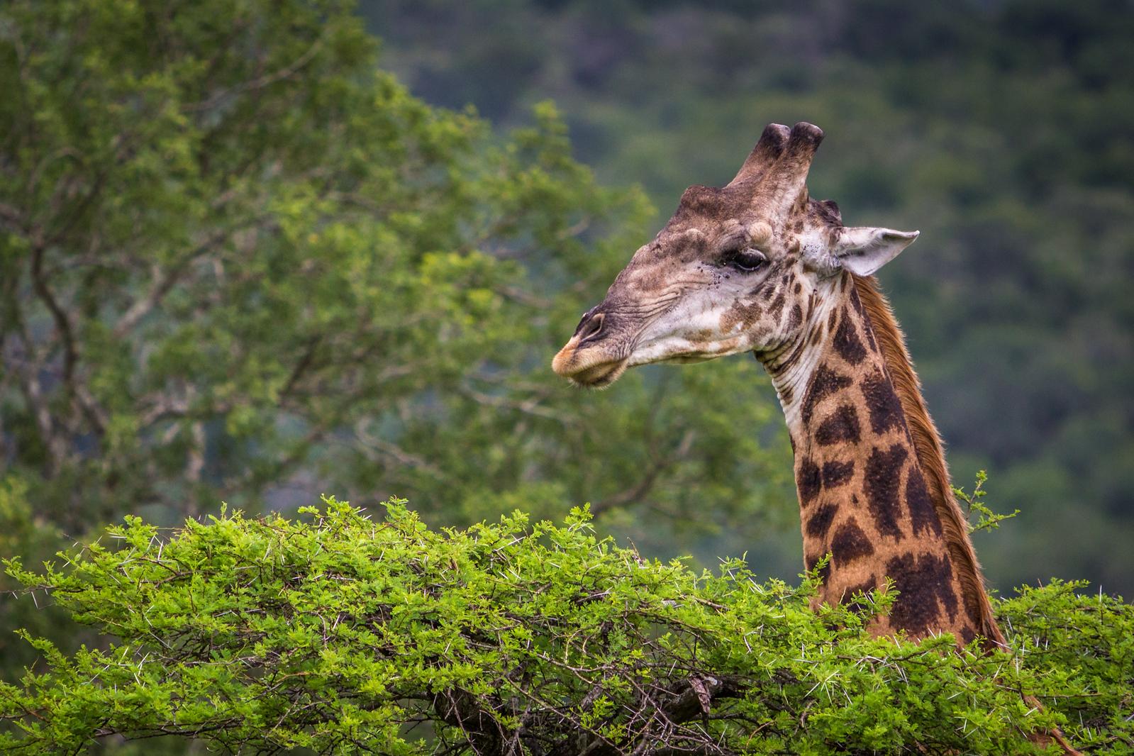 south africa wildlife giraffe