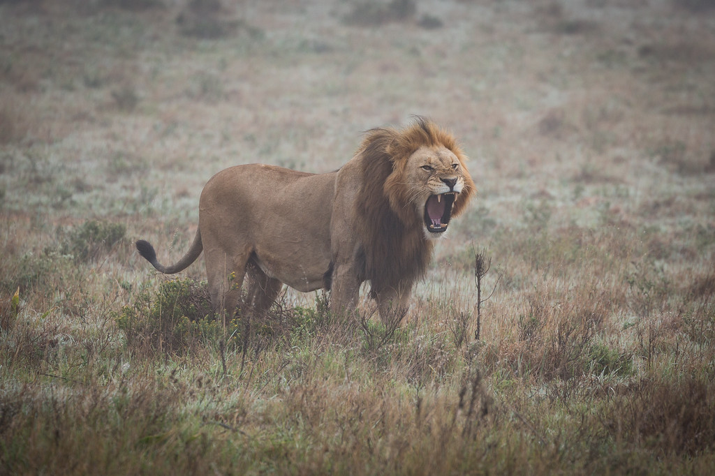 Male Lion yawning in the mist at Amakhala Game Reserve, Eastern Cape.