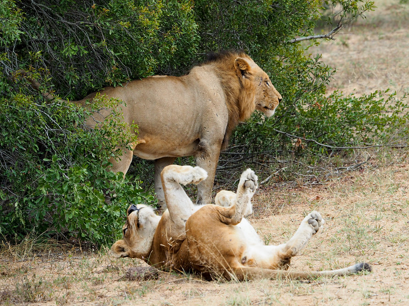 Lion pair in Kruger National Park