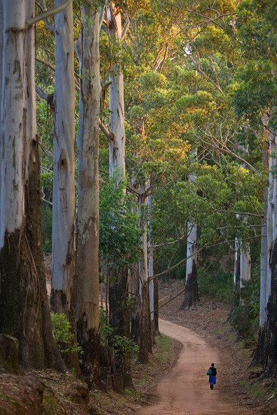 Giant Gum Trees near Magoebaskloof, South Africa