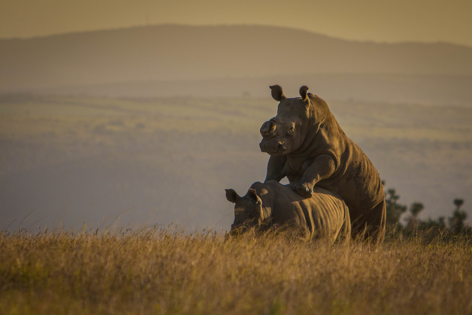 Rhinos mating on the plains of South Africa. wildlife