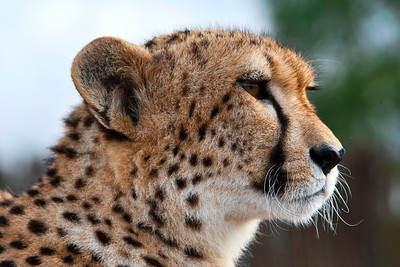 A Male Cheetah profile as it scans the horizon for prey. Taken near Addo Elephant Park in South Africa