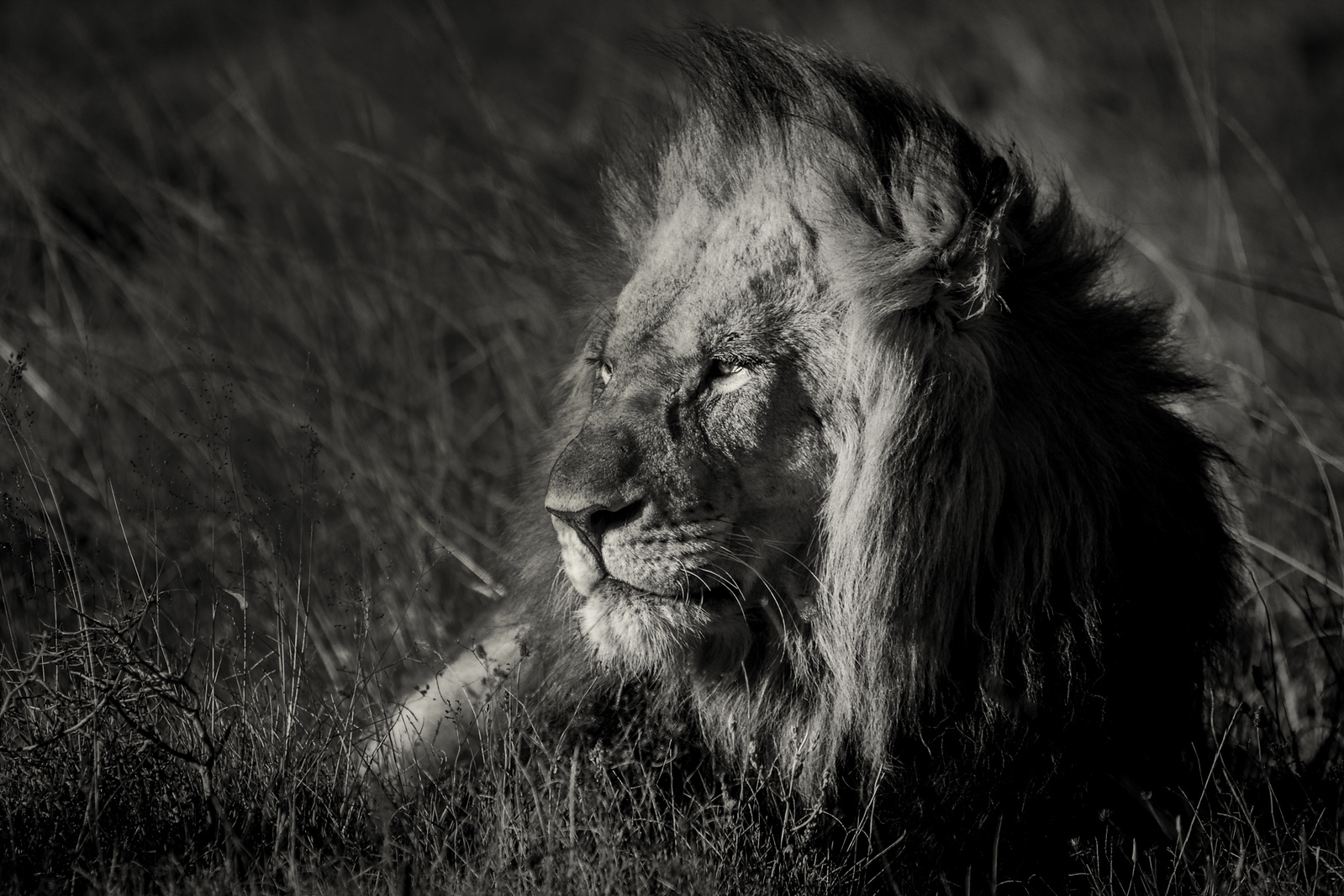 South Africa wildlife lion