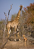 Giraffe and Impala
