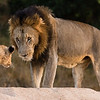 A cub warily greets its father