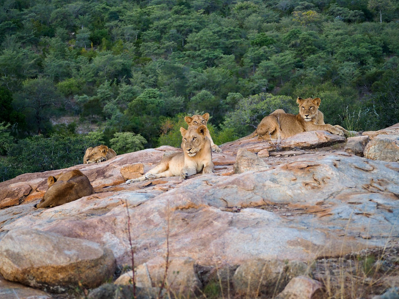 Pride of lions in Kruger National Park