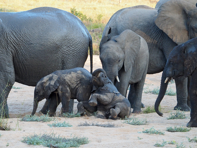 Baby elephants playing in Kruger