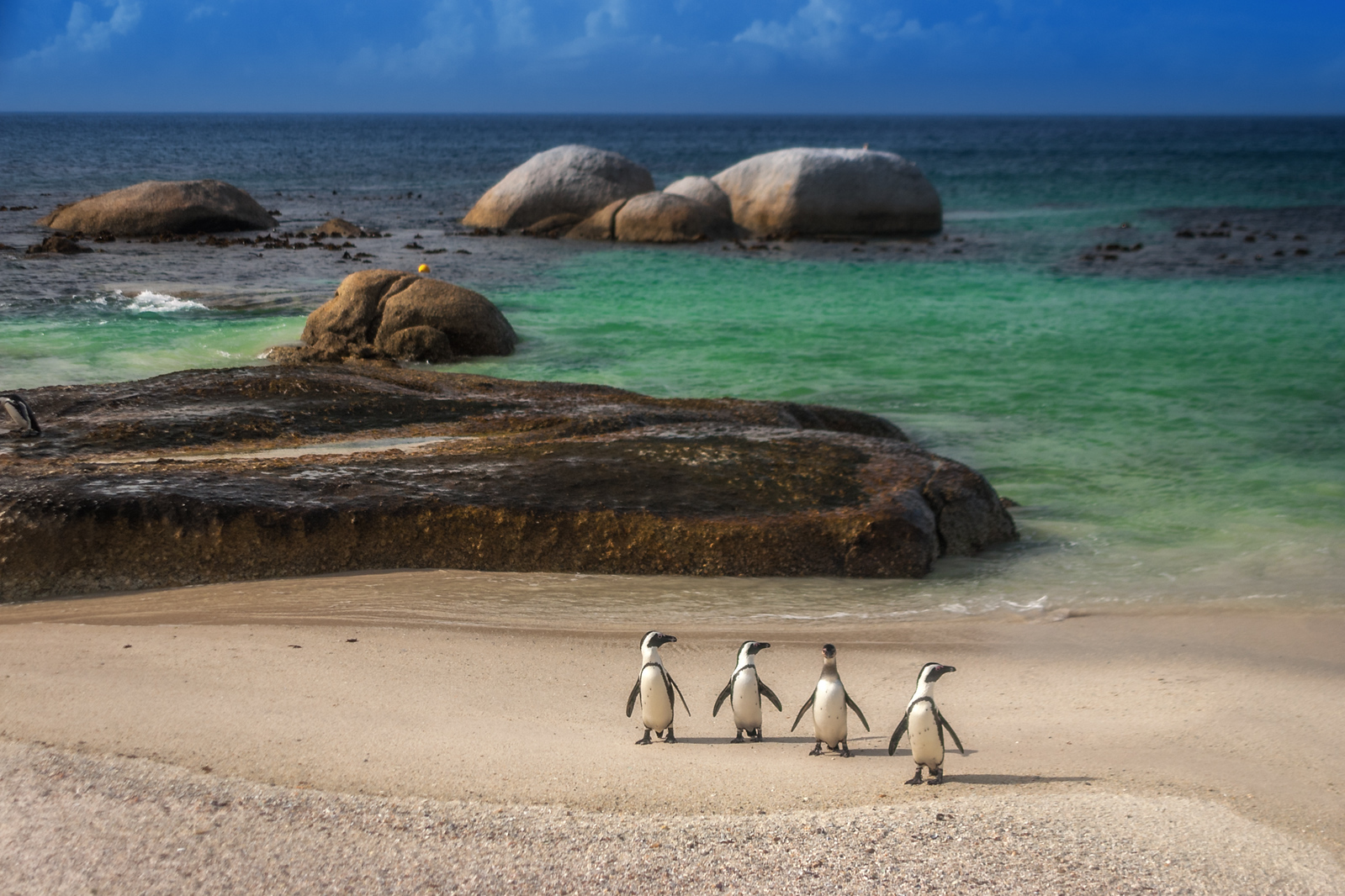 The Penguins of Simon's Town, South Africa wildlife