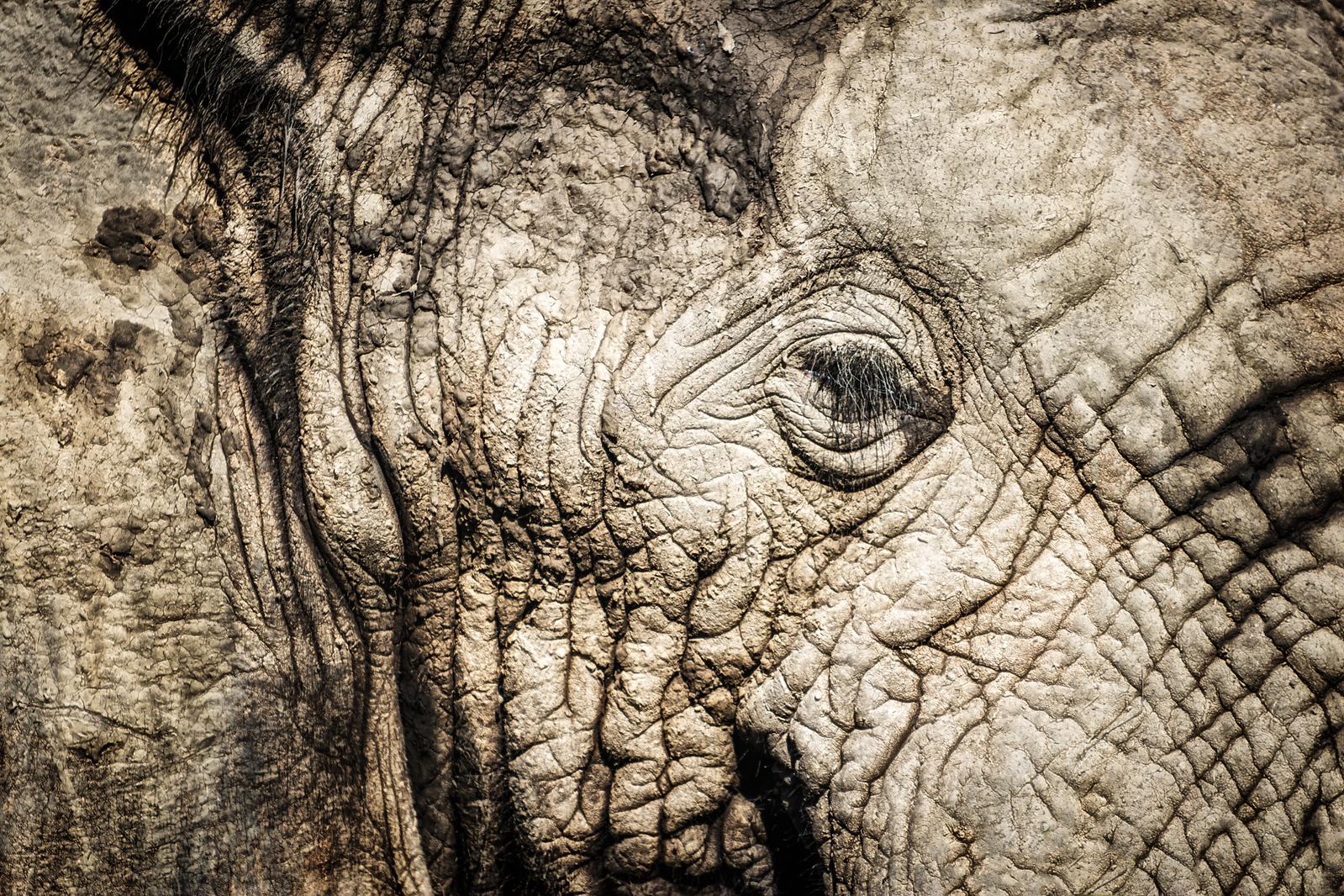 giant elephant South africa wildlife
