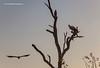 Vultures, Greater Kruger National Park, Mpumalanga, South Africa.