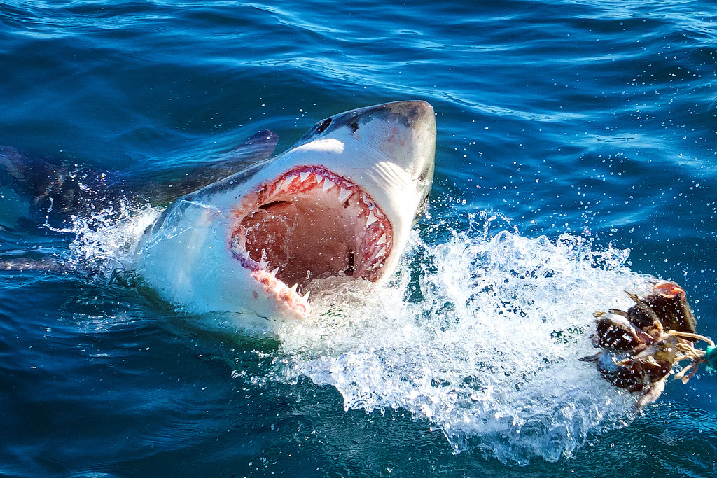 South Africa Great Whites