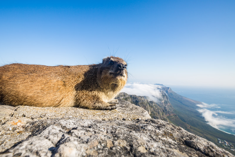 Rock Dassie on tope of Table Mountain