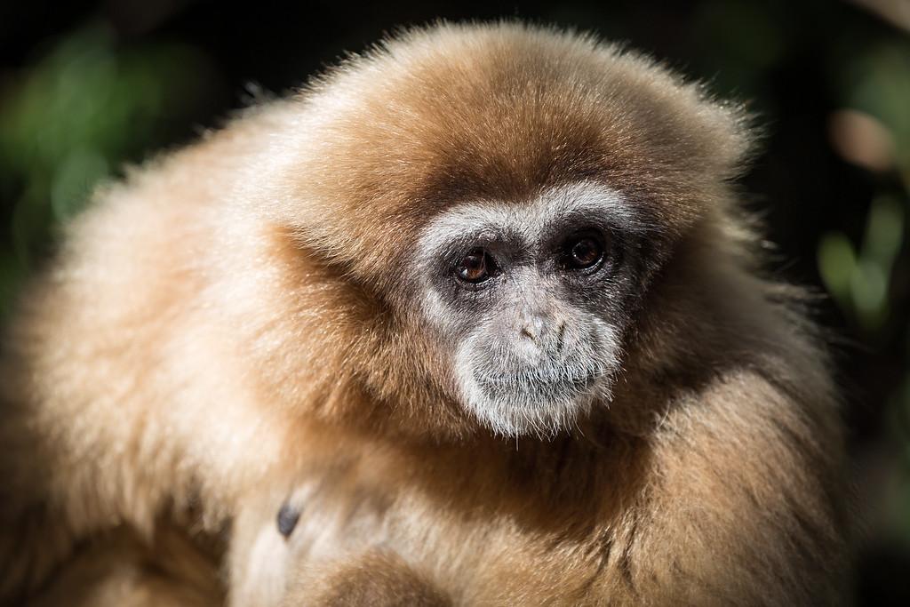Female Gibbon at Monkeyland Primate Sanctuary in Plettenberg Bay