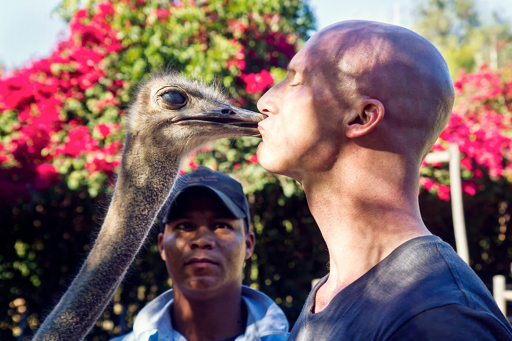 Ostrich Kissing South Africa