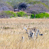 Southern Africa cheetah