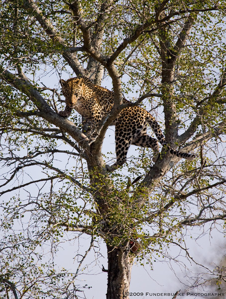 Male Leopard with kill cached in tree