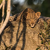 Leopard Cub Relaxing at Sunset