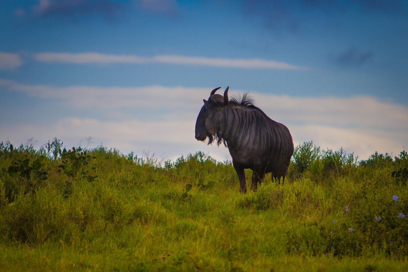 A lone Wildebeest takes stock. Wildlife South Africa