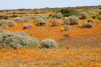 Namaqualand is a semi-desert environment, however in the spring (July to September) depending on the rains, a miracle occurs. As the rains soak into the thirsty earth, millions upon millions of flowers emerge in a  phenomenal explosion of colour which transforms the landscape into a wonderland of beauty.