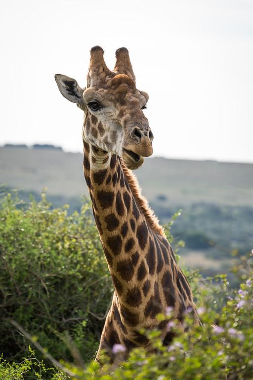Giraffe. Amakhala Game reserve,  Eastern Cape