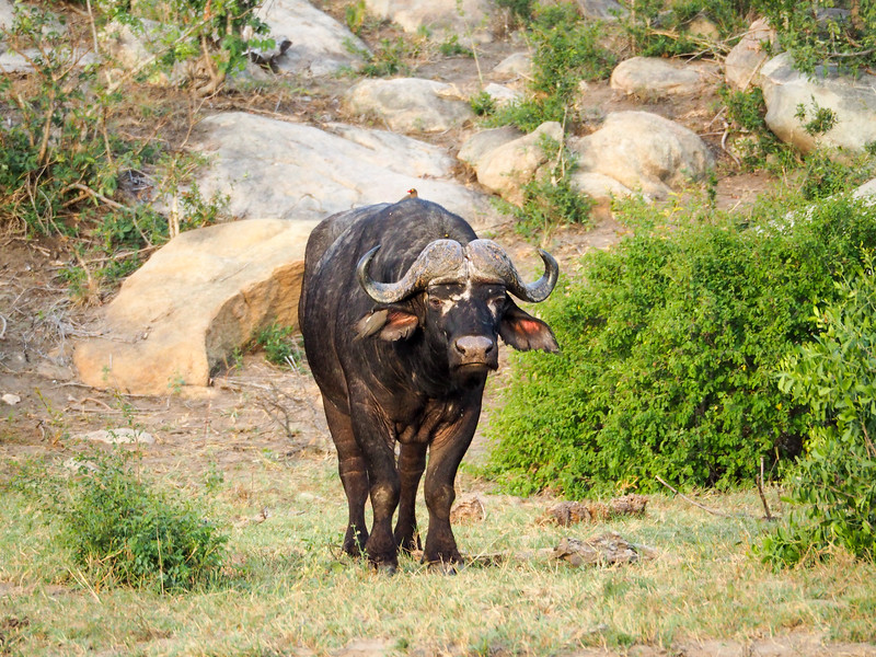 Cape buffalo in Kruger National Park
