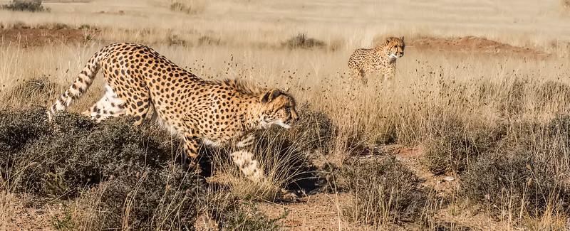 Stalking Cheetahs