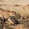 A pair of cheetahs (acinonyx jabatus) keep a close eye on their next meal