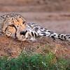 Cheetah At Rest