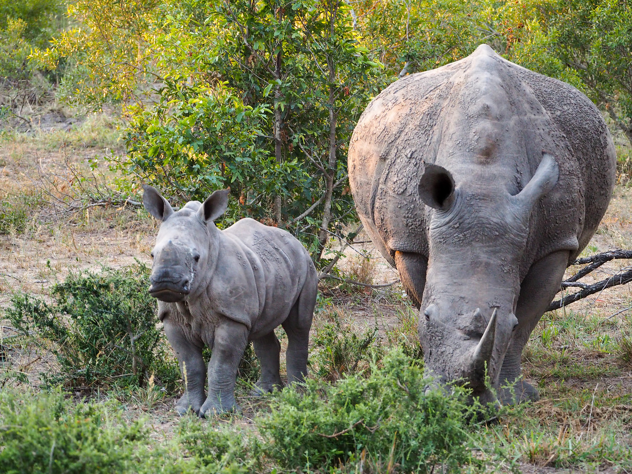 Mama and baby white rhino in Kruger