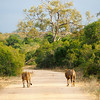 Lions in Kruger National Park in South Africa