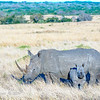 White Rhinoceros (Southern subspecies)