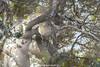 Vervet Monkey, Silaka Nature Reserve, Port St. John's, Eastern Cape, South Africa.