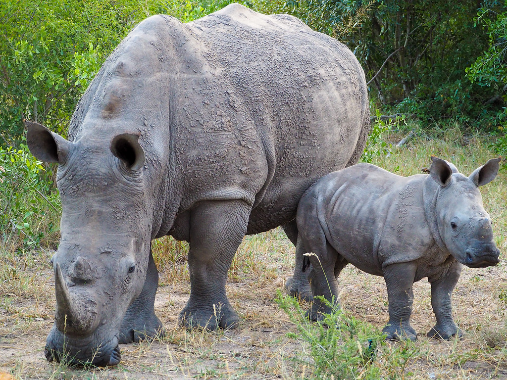 Mother and baby rhino in Kruger National Park