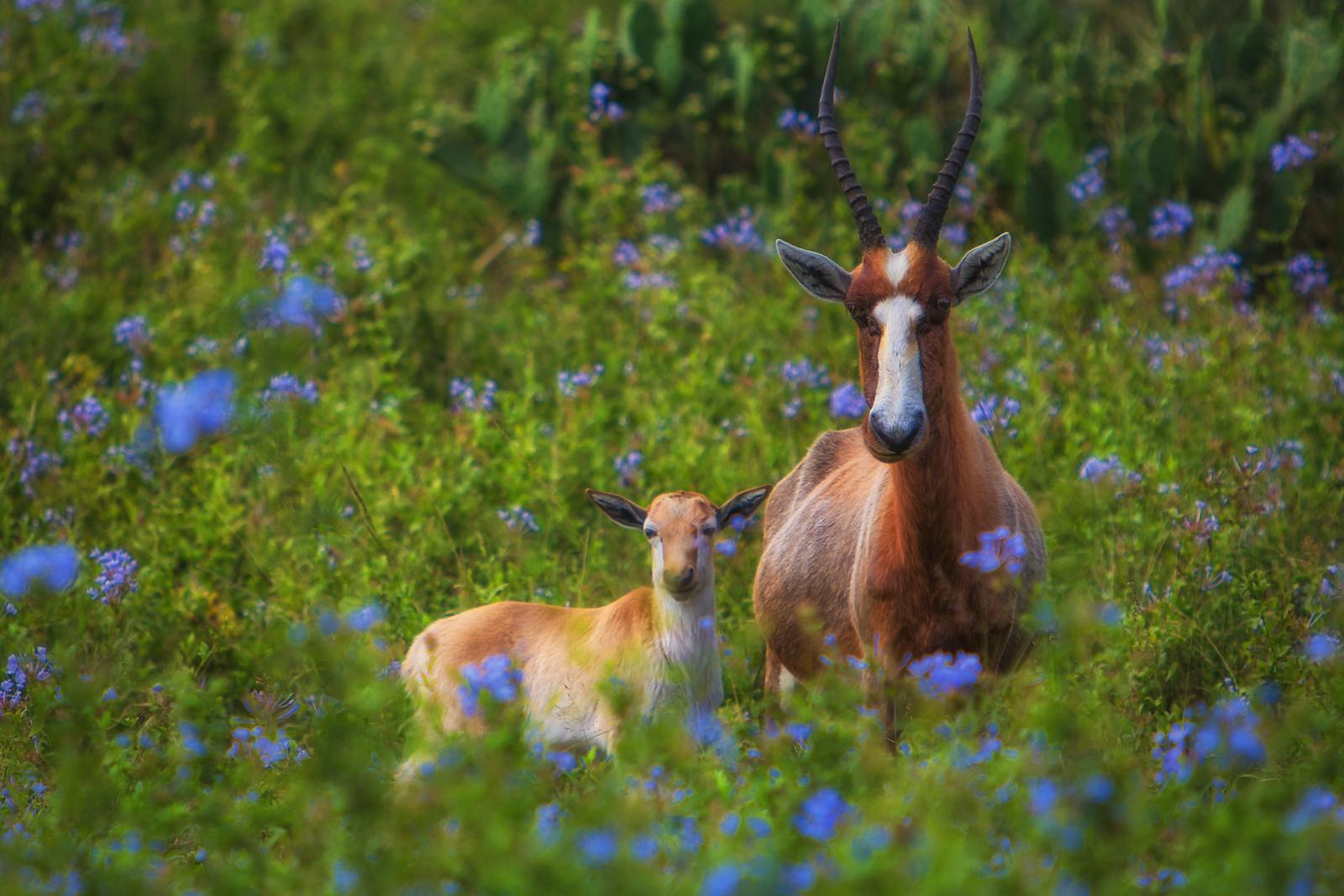 Impala south africa wildlife
