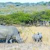 Southern white rhinoceri