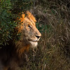 A male lion (panthera leo) emerges from thick brush